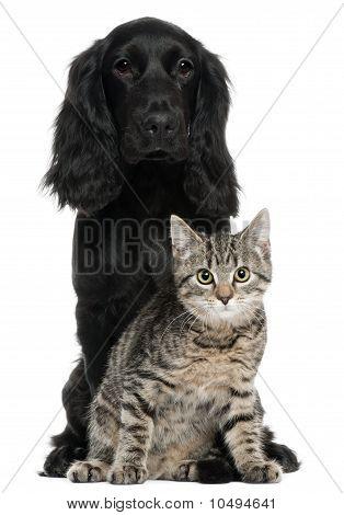Cocker Spaniel en Europees-kat, 5 en 4 jaar oud, zit op witte achtergrond