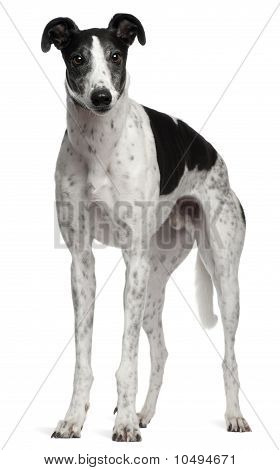 Grey Hound, 4 Years Old, Standing In Front Of White Background
