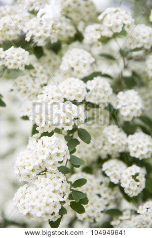 Bush full of little withe flowers - White Spiraea (Meadowsweet) Flowers