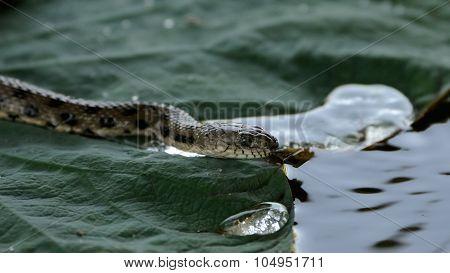 Dice Snake At Lotus Leaf