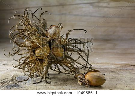 Dry Flower And Nuts Of Turkish Hasel On Wood