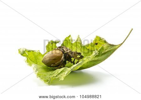 Hazelnut In A Dry Green Leaf Isolated On A White Background