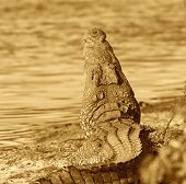 crocodile laying with its mouth wide open poster