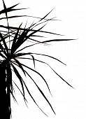 A silhouette of a parlour palm on a white background poster