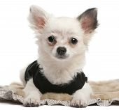Chihuahua puppy 2 months old lying in front of white background poster