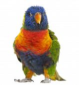 Rainbow Lorikeet Trichoglossus haematodus 3 years old standing in front of white background poster