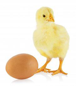 Little yellow chicken standing near egg