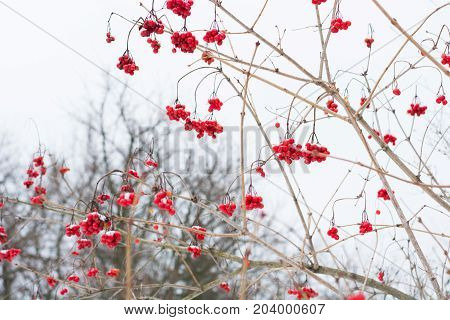 Branches of rowan in snow clear frosty day. Winter background. Lookup. Mountain ash.