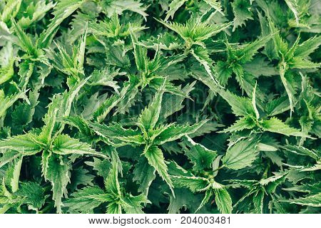 wild green nettle plant texture top view