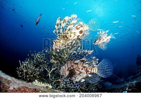 Tree Common Lionfish (pterois miles) or scorpions fish swimming above coral reefs in clear tropical waters at Boulder City Dive SiteSimilan national park north andaman Thailand.
