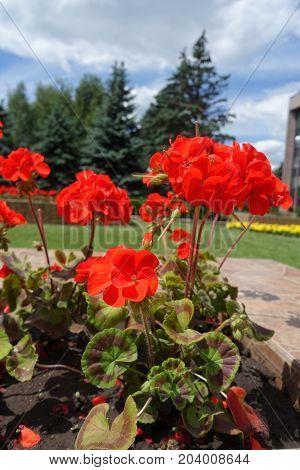 Scarlet Flowers And Fancy Leaves Of Pelargoonium