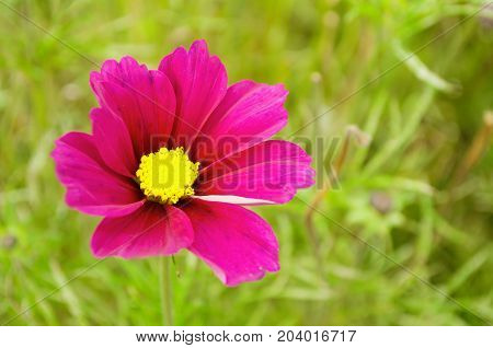 Pink cosmos flower - in Latin Cosmos Bipinnatus - in the meadow. Summer flower background. Selective focus at the cosmos flower. Colorful flower nature view of cosmos flower. Closeup of summer flower. Flower background