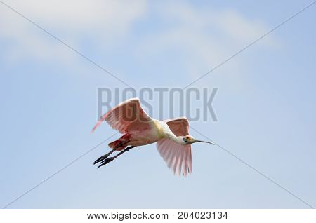 Roseate Spoonbill collection of odd angles in flight