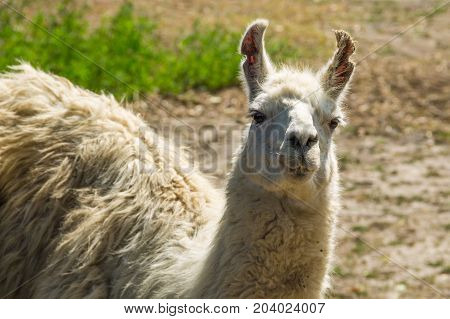 Portrait Of A White Lama