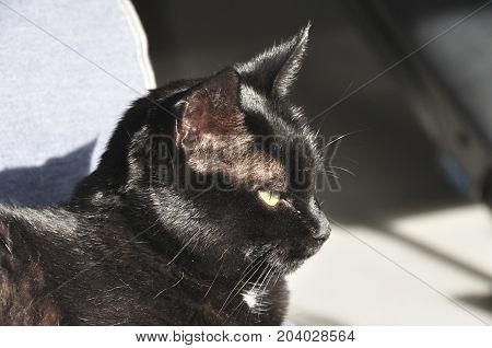 Black domestic cat in the afternoon sun, nodding