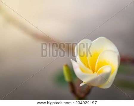 Close-up image of blooming white Frangipani flower in garden with copy space