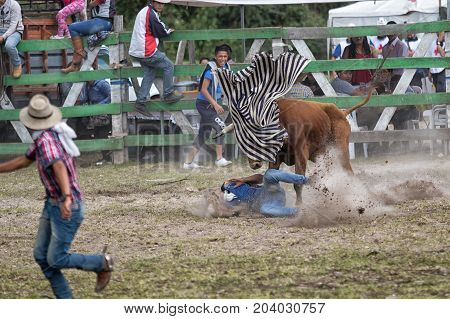 May 28 2017 Sangolqui Ecuador: young man ran over by a bull at a rural amateur rodeo in the Andes