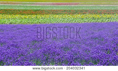 lavender field and another flower field , nature background
