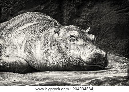 Hippo - Hippopotamus amphibius resting near the water. African natural scene. Black and white photo.