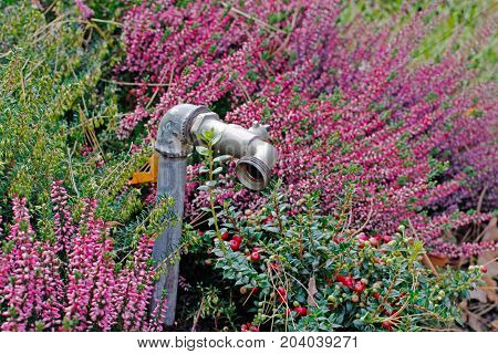 Faucet for irrigation on the background of heathers and cranberries