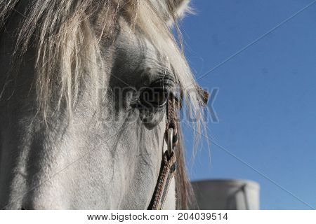 Luso-árabe horse relaxed in the sun, Portugal