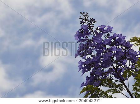 Jacaranda mimosifolia with purple-blue flowers on a blue cloudy sky background,Tenerife,Canary Islands,Spain.Jacaranda tree.