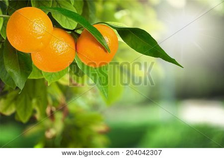Ripe branch oranges healthy lifestyle healthy food low calorie natural food