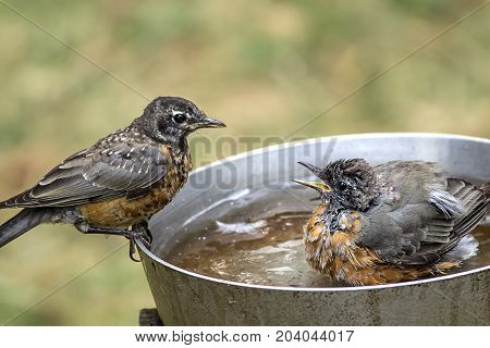 One robin chirps at another. A couple of American Robins in a bird bath together.