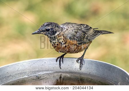 A juvenile American robin is perched on the side of a bird bath.
