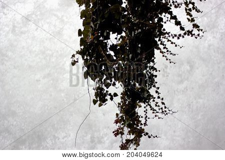 Climbing plant in the waterfalls of Edessa Greece Europe