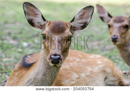 Sika Deer (cervus Nippon)  At Miyajima (itsukushima) Island Japan