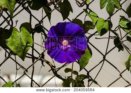 Blue flower morning glory of the Ipomea genus of the family Convolvulaceae (Ipomea Purpurea)