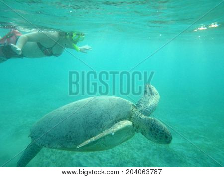 woman swimming with a sea waterfowl turtle