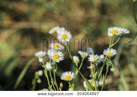 Miniature white flowers daisy fleabane with small petals and yellow centers (Erigeron annuus)
