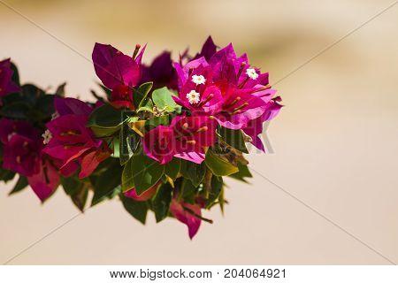 Pink flowers of the evergreen shrub Bougainvillea (Bougainvillea glabra) poster