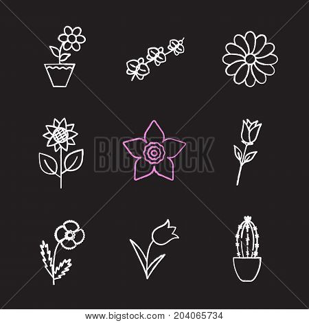 Flowers chalk icons set. Crocus, rose, narcissus head, chamomile, sunflower, orchid, cactus in flowerpot, poppy, tulip. Isolated vector chalkboard illustrations