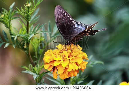 A Spicebush Swallowtail (Papilio polyxenes) Butterfly feeding from an orange marigold flower in the summer sun.