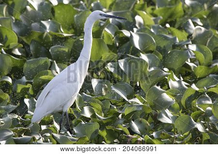 little egret which stands in shallow water covered with leaves of aquatic vegetation on the shore of Lake Victoria