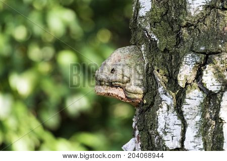 Tinder fungus, a parasite on the birch trunk, resembling the head of moray eels (Fomes fomentarius)