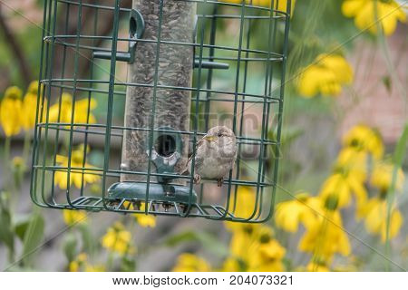 A Juvenile Sparrow Sitting on the Bird Feeder