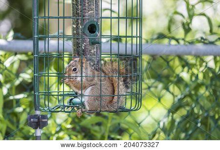 Red Squirrel Stealing Bird Seeds in a Backyard