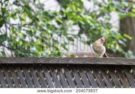 Female Cardinal on a Fence Looking at the Camera