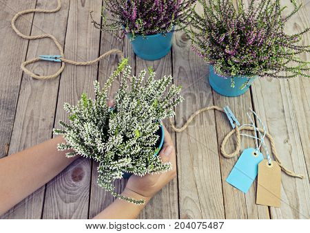 Female hands holding a pot of heather on a wooden table. Planting autumn flowers in pots, heather in garden, gardening in autumn season, flat lay garden concept, toned
