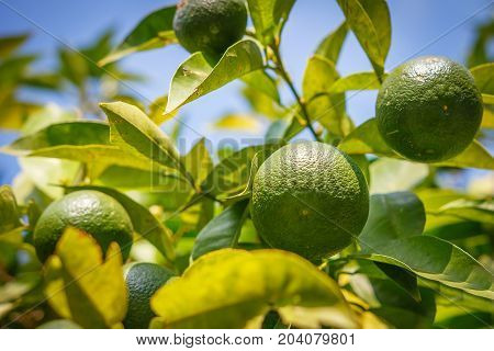 Green mandarins grow on tree. Unripe citrus mandarine on green branch