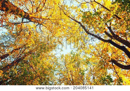 Autumn forest tree tops against the sky. Autumn forest background. Forest autumn tree tops. Autumn forest landscape. Forest trees against the blue sky. Forest nature
