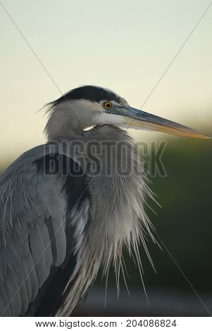 A profile view of a great blue heron in southern Florida.
