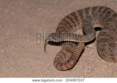 The tiger rattlesnake is a small but highly venomous species of pit viper.