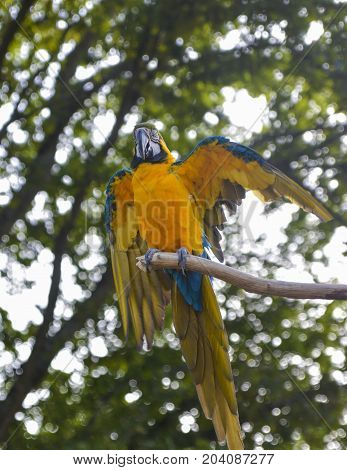 Blue and yellow macaw sits on a branch Ara ararauna Macaw parrot