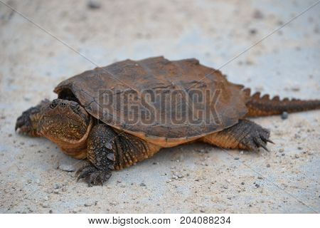 young snapping turtle in a northern Michigan wildlife refuge