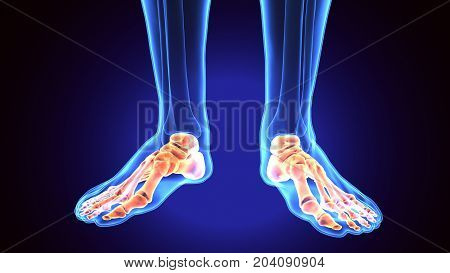 Human Foot Anatomy Illustration . 3D render